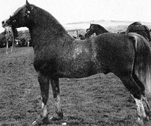 History of the Welsh Cob | MHS Welsh Cob